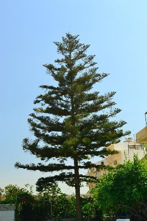 Roxani Hotel: дерево в отеле