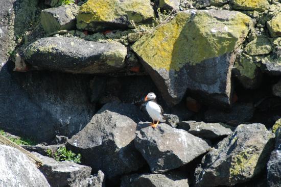 Forth Sea Safaris: Puffin viewed from Sea Safari trip