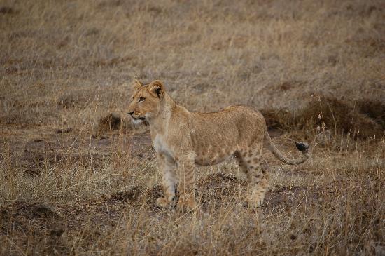 Simba seen near Porini Rhino camp!