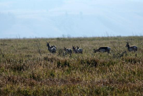 BrushBuck Wildlife Tours - Day Tours: Pronghorn Antelope