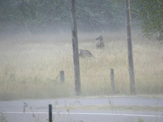 Rainier Valley Inn: Early morning elk grazing in field across from hotel