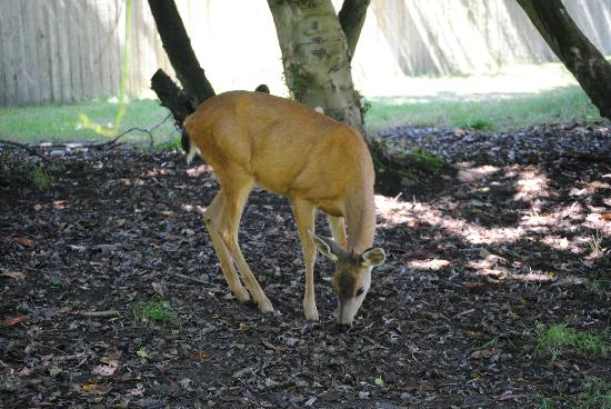 Blake Island State Park: Deer on Blake Island