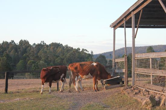 Clandulla Cottages, Beaudesert: Animal feeding