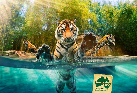 Australia Zoo has the only glass underwater viewing enclosure for Tigers in Australia
