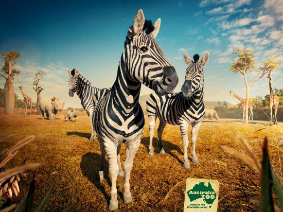 Beerwah, Australien: Check out our Zebra boys at the new African Safari exhibit