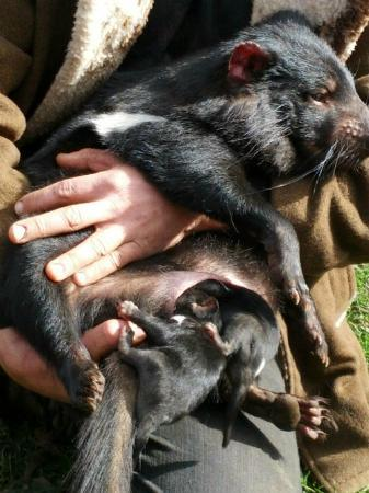 Tasmanian Devil With 4 Babies In Her Pouch Picture Of