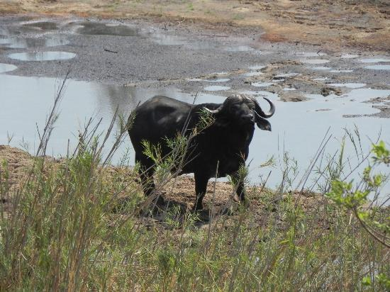 Tydon Safari Camp: Buffalo spotted in Kruger