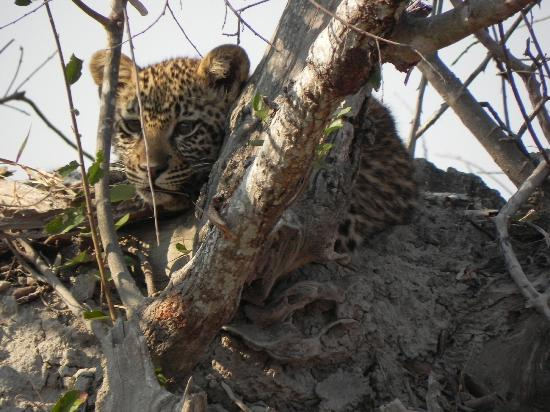 Tydon Safari Camp: Baby leopard we discovered while off-roading in Sabi