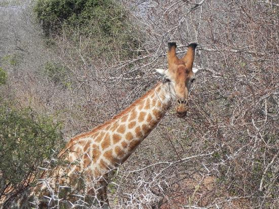 Tydon Safari Camp: Giraffe chowing down next to the road