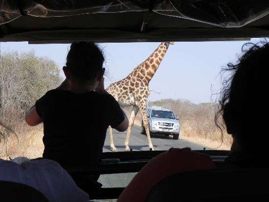 Tydon Safari Camp: Giraffe casually crossing the road in fron of us while driving through Kruger