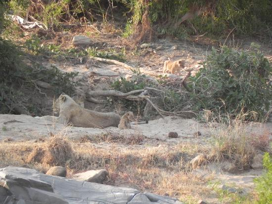 Tydon Safari Camp: Female lion and her cubs spotted in Kruger