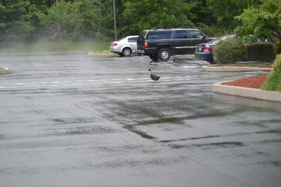 Hampton Inn Manheim Lancaster: Goose in the parking lot.