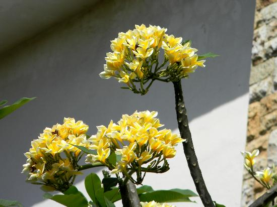Puri Sading Hotel: Yellow frangipani
