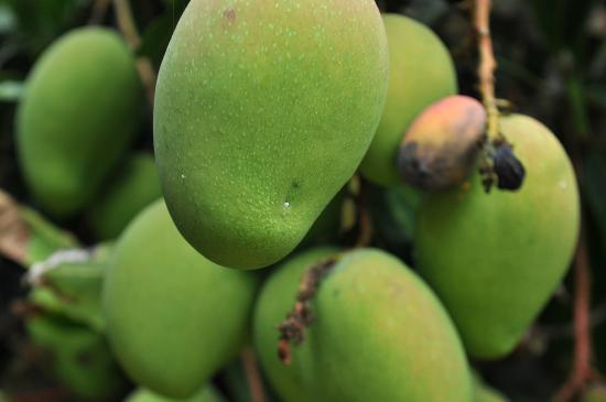 Ribeira Brava, Portugal : Mangos growing on the farm