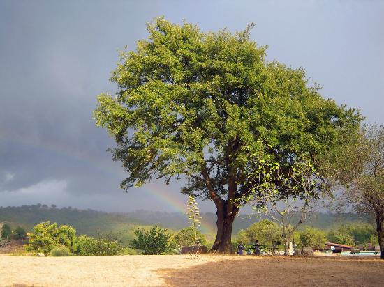 Azienda Agrituristica Bio Le Macchie Alte : La quercia delle Macchie Alte dopo il temporale