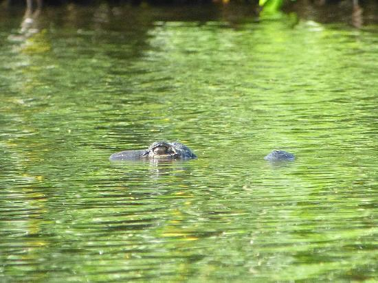 Tour the Glades - Private Wildlife Tours: gator swimming by