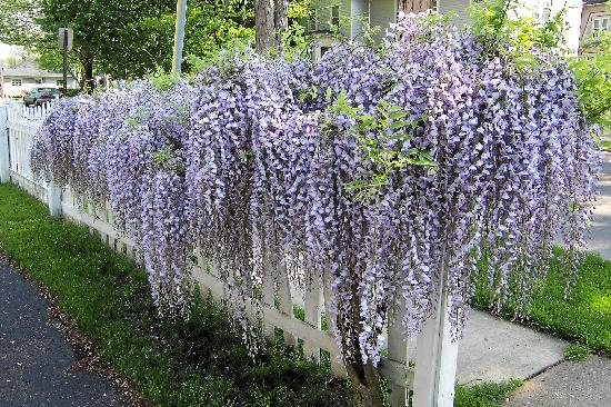 Captain Montague's Bed and Breakfast: Amazing wisteria