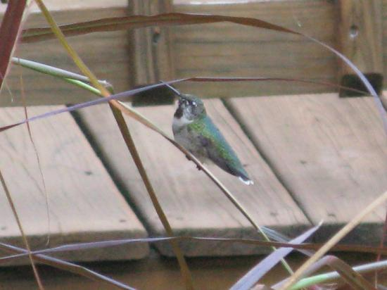 Hummingbirds on the Bent Creek Lodge deck