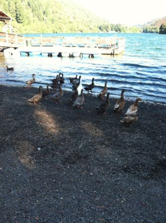 Pine Acres Resort : Happy Ducks