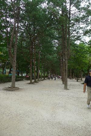 Nami Island: Pine trees