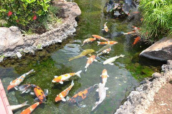 Beach Villas at Ko Olina: There are tons of koi fish that you can feed.