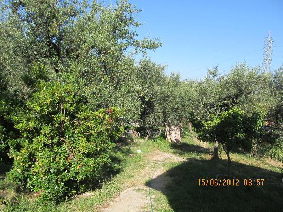 Agriturismo L'Olivara: Blick in den Olivenhain