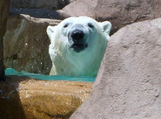 Marineland: l'ours polaire craquant