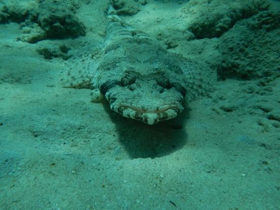 Jaz Dar El Madina: Pesce coccodrillo -Abu Dabbab