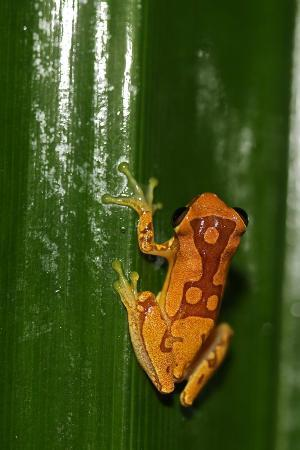 Bosque del Cabo Rainforest Lodge: Hourglass frog