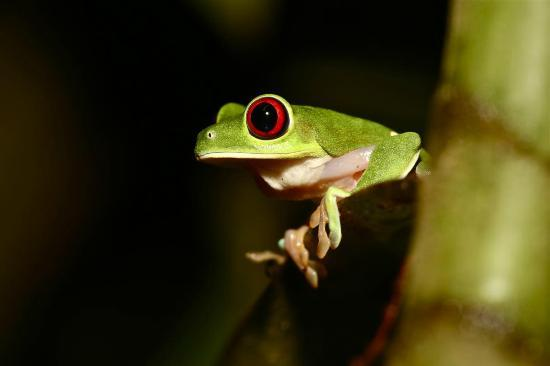Bosque del Cabo Rainforest Lodge: Red eyed green tree frog
