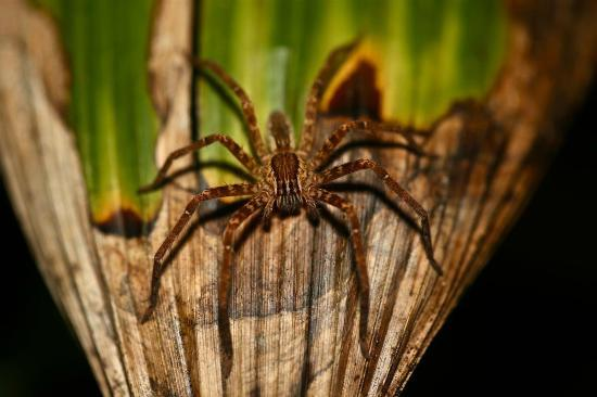 Bosque del Cabo Rainforest Lodge: Wandering Spider