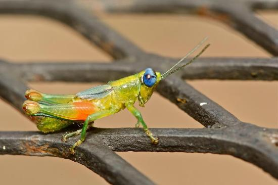 Bosque del Cabo Rainforest Lodge: Brightly coloured grasshopper