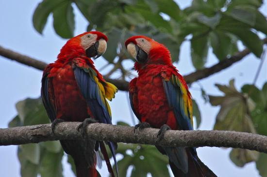 Bosque del Cabo Rainforest Lodge: Scarlet Macaws