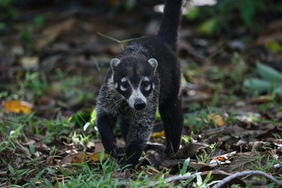Bosque del Cabo Rainforest Lodge : Coati