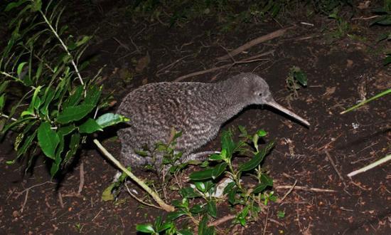 Otorohanga Kiwi House & Native Bird Park : Tasman