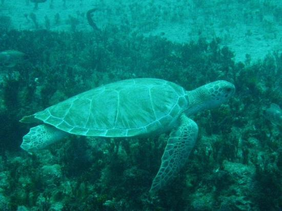 Bimini Big Game Club Resort & Marina: Hawksbill turtle
