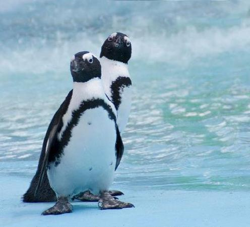 Timbavati Wildlife Park: Penguins at the pool.