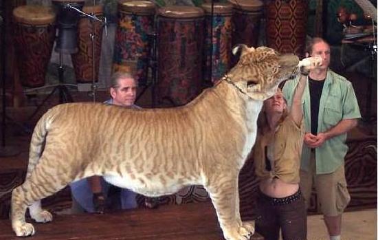 Jungle Island: liger