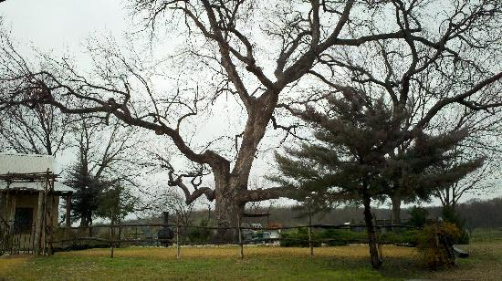 Winding Ridge Bed and Breakfast: I just love this tree, i wonder what it has seen in its time.