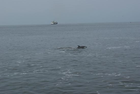 Cape May Whale Watch & Research Center : dolphin