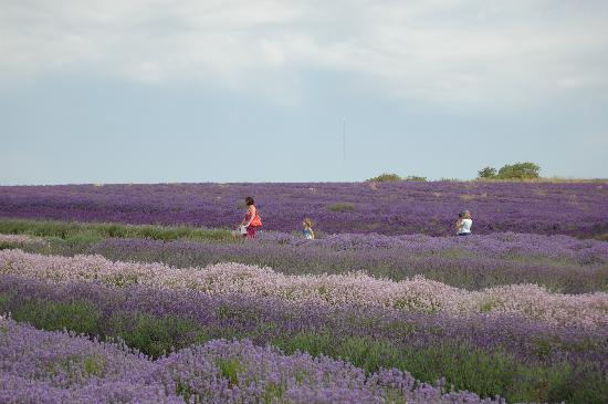 Tour the Cotswolds: Snowhill Lavender Field