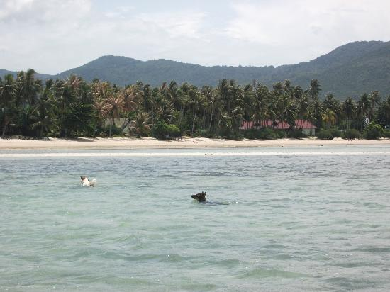Phangan Villa Beach Bungalow: Some of the dogs playing in the sea