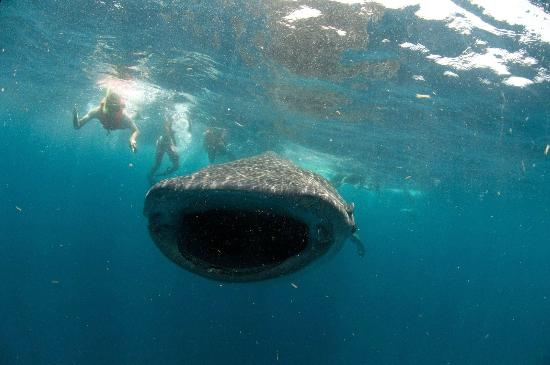 Deep Life Diving & Training : Swimming with thw whale sharks