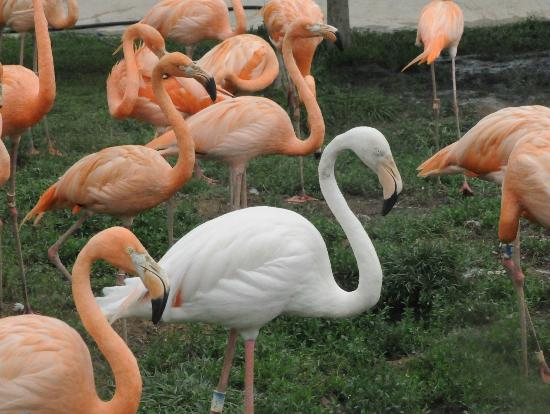 Harbin Zoo: Flamingos, pink mostly, but a white one here and there