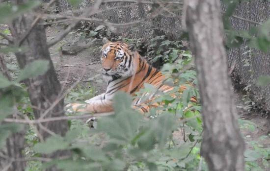 Harbin Zoo: A Siberian Tiger at rest.