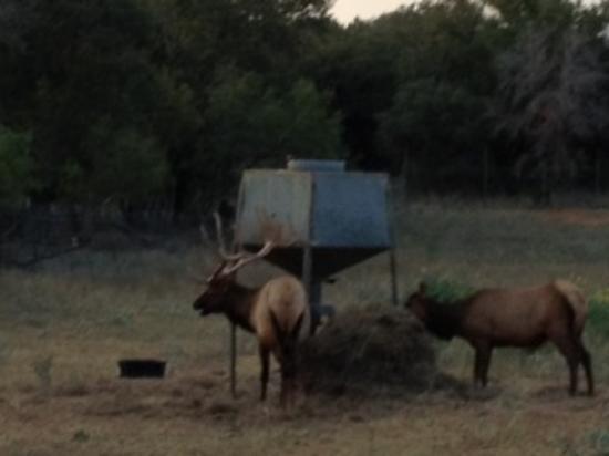كانتري إن آند كوتيدجيز: Elk out back. 
