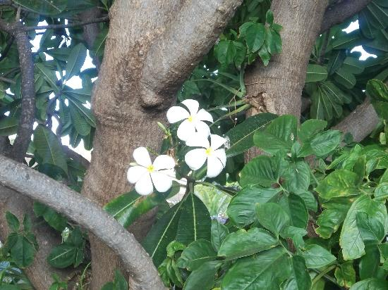 Anapa Place Inn: plumeria tree in front of the master bedroom