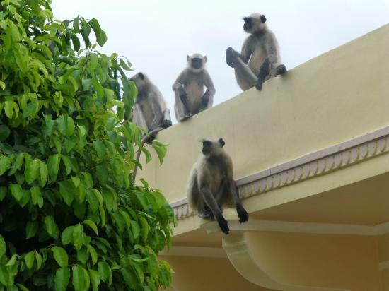 Samode Haveli: Monkeys on wall of hotel grounds