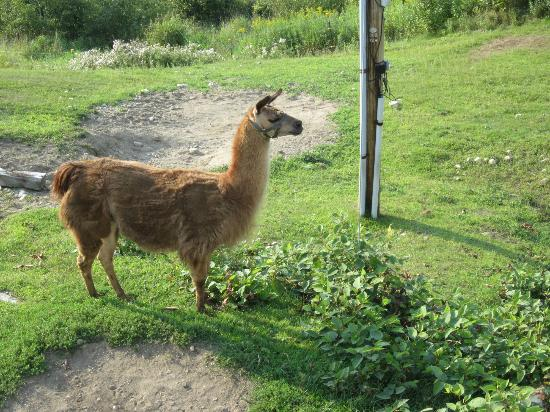 Blueberry Farm Bed & Breakfast: Milton, one of the pet llamas
