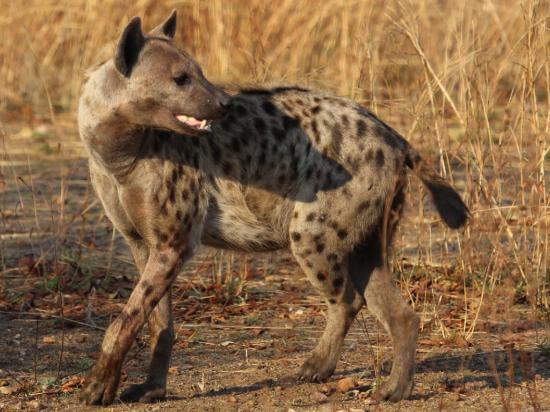 Tena Tena Camp: Hyena at sunrise